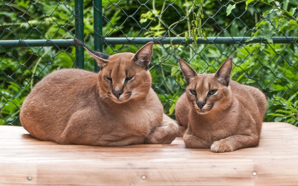 Zoznámte sa s mačkovitými šelmami pekne zblízka