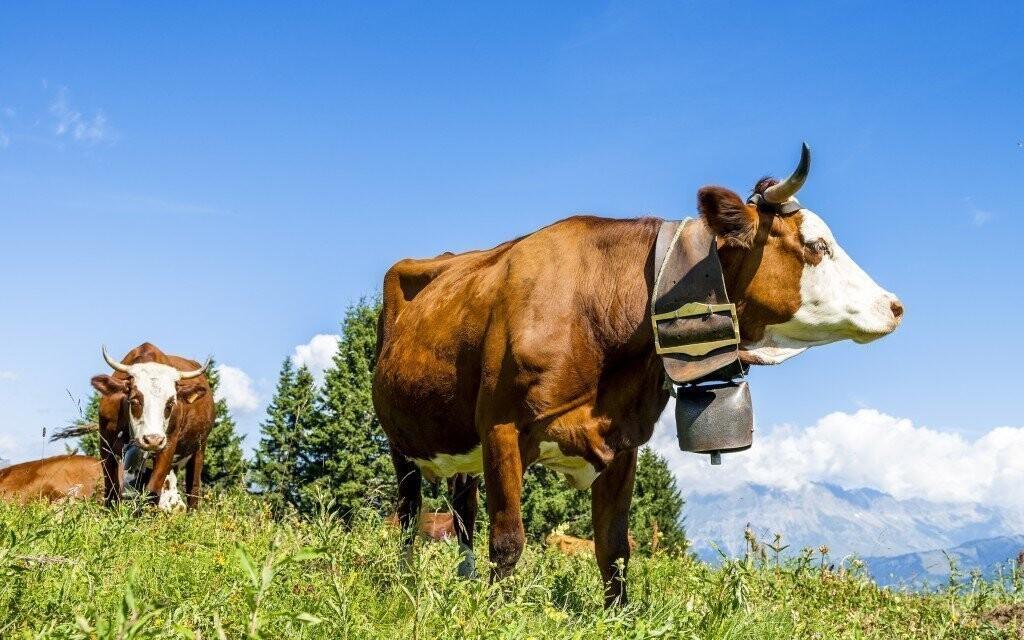 Všudypřítomné pasoucí se krávy