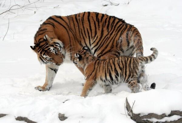 Oáza sibiřských tigrů